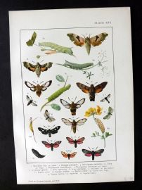 Kappel & Kirby C1895  Butterflies and Moths Print. Smerinthis, Magroglossia etc 16